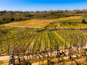 Vineyards in O Ribeiro